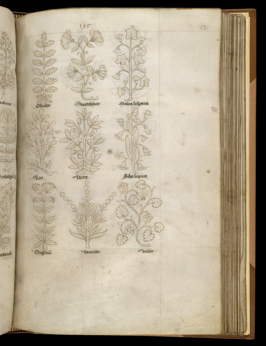 Drawings Of English Wild Plants Used In Medicine, Including Lavender And Violet